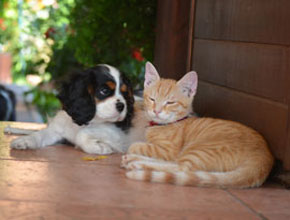 cavalier king charles a mačka